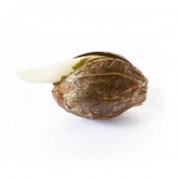Quick One Feminizowane auto  (Royal Queen Seeds)