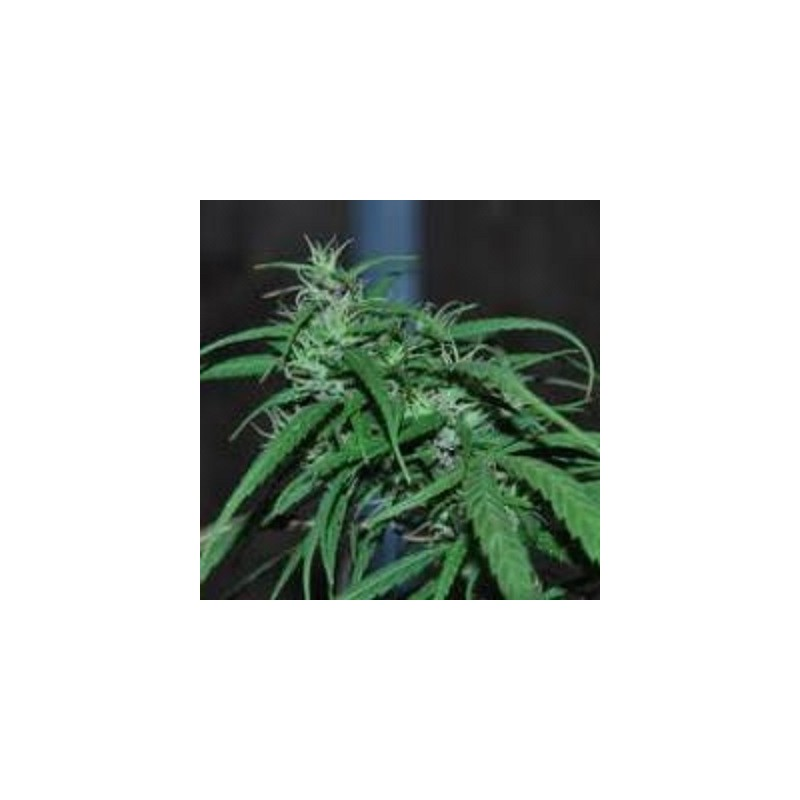 Green Haze Regularne (Ace Seeds)