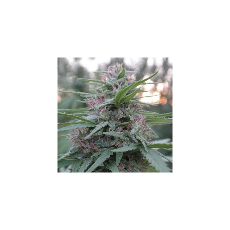 BLACK DOMINA X BLACK DOMINA Feminized (Speed Seeds)