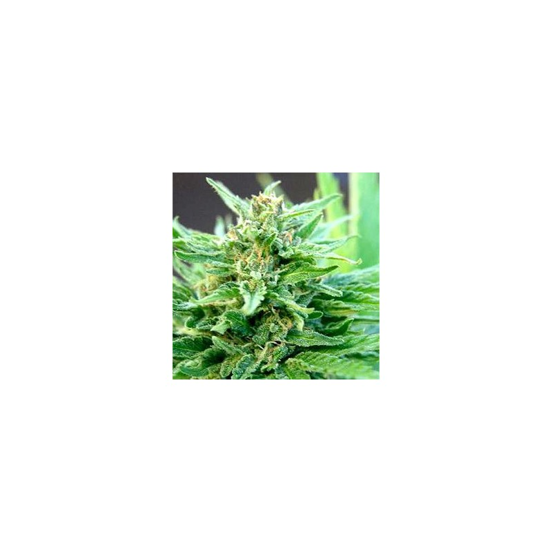 BLACK DOMINA X BUBBLE GUM  Feminizowane (Speed Seeds)