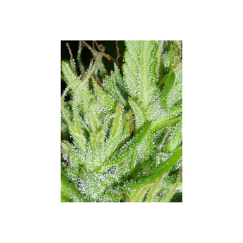 Guatemala Regular (Ace Seeds)