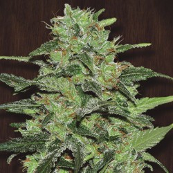 Malawi  Regularne (Ace Seeds)
