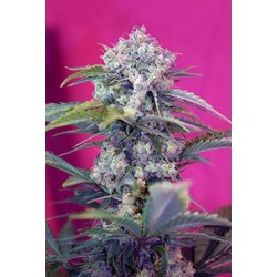 Cream Mandarine F1 Fast Version Feminizowane (Sweet Seeds)