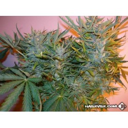 Think Different x Bebook Special Auto Feminized (Bebook Flavour)