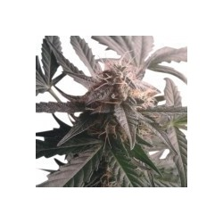 Northern Light Automatic Feminized (Royal Queen Seeds)