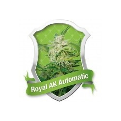 Royal AK Automatic Feminizowane (Royal Queen Seeds)