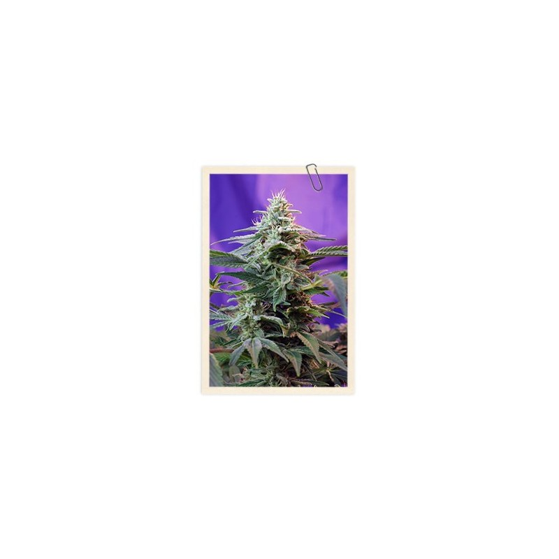 Cream Mandarine F1 Fast Version Feminized (Sweet Seeds)