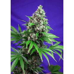 Killer Kush F1 Fast Version Feminizowane (Sweet Seeds)