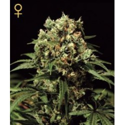 Kalashnikova Auto Feminized (Greenhouse Seeds)