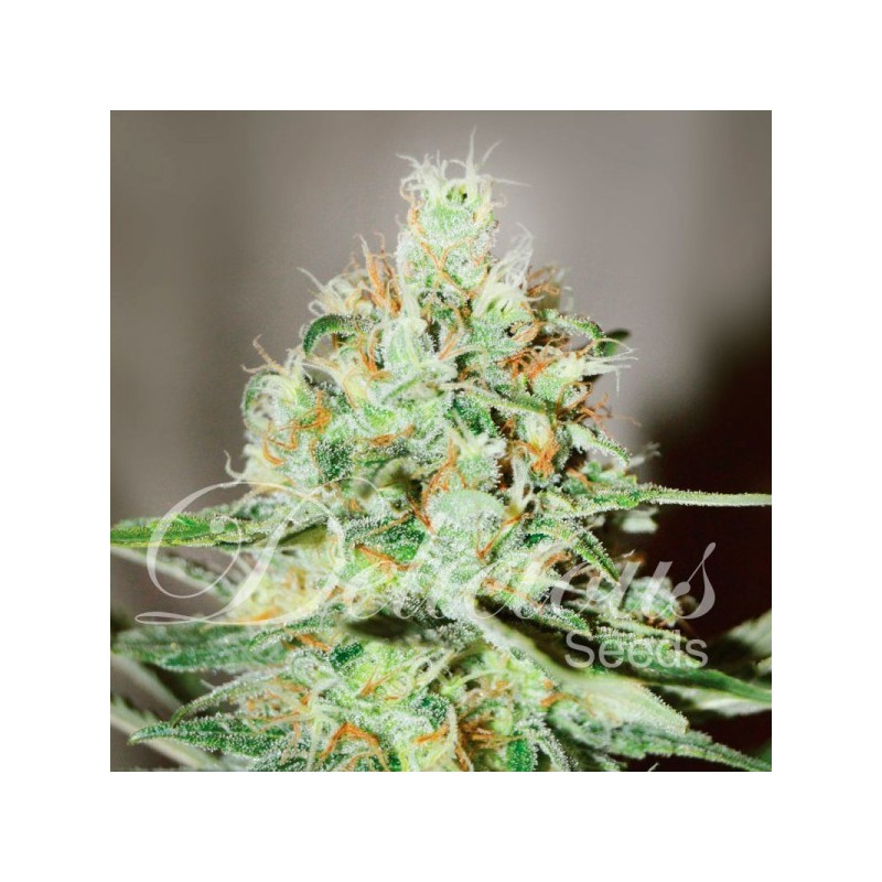 JÄGG KUSH  Feminized (Delicious Seeds)