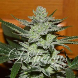 DESCONOCIDA KUSH  Feminized (Delicious Seeds)