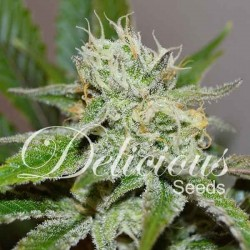 ORIGINAL JUAN HERER  Feminized (Delicious Seeds)
