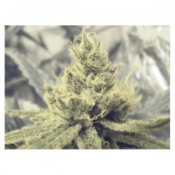 Y Griega CBD  Feminizowane (Medical Seeds)