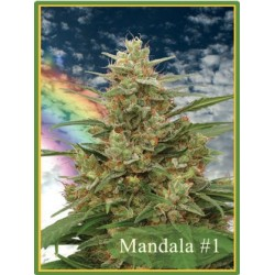 Mandala 1 Regularne (Mandala Seeds)