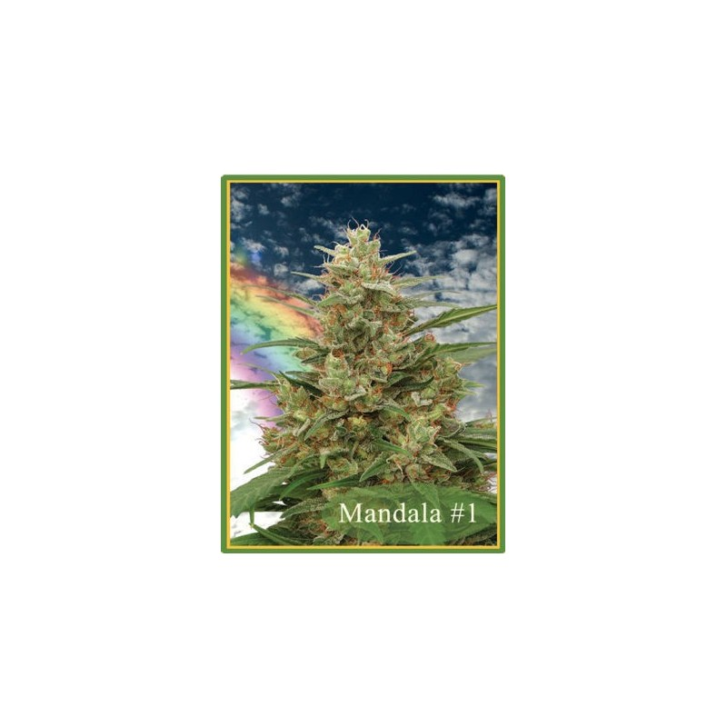 Mandala 1 Regular (Mandala Seeds)