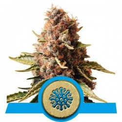 Euphoria CBD Feminized (Royal Queen Seeds)