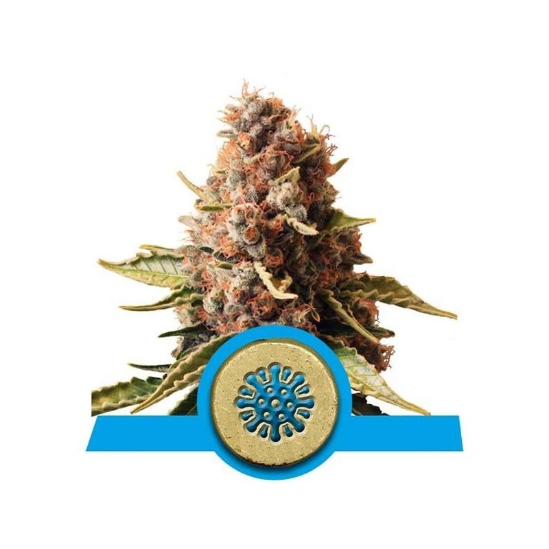 Euphoria CBD Feminized (Royal Queen Seeds)