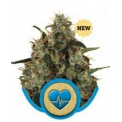 MEDICAL MASS Feminizowane  (Royal Queen Seeds)