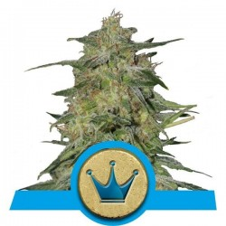 Royal Highness Feminized (Royal Queen Seeds)