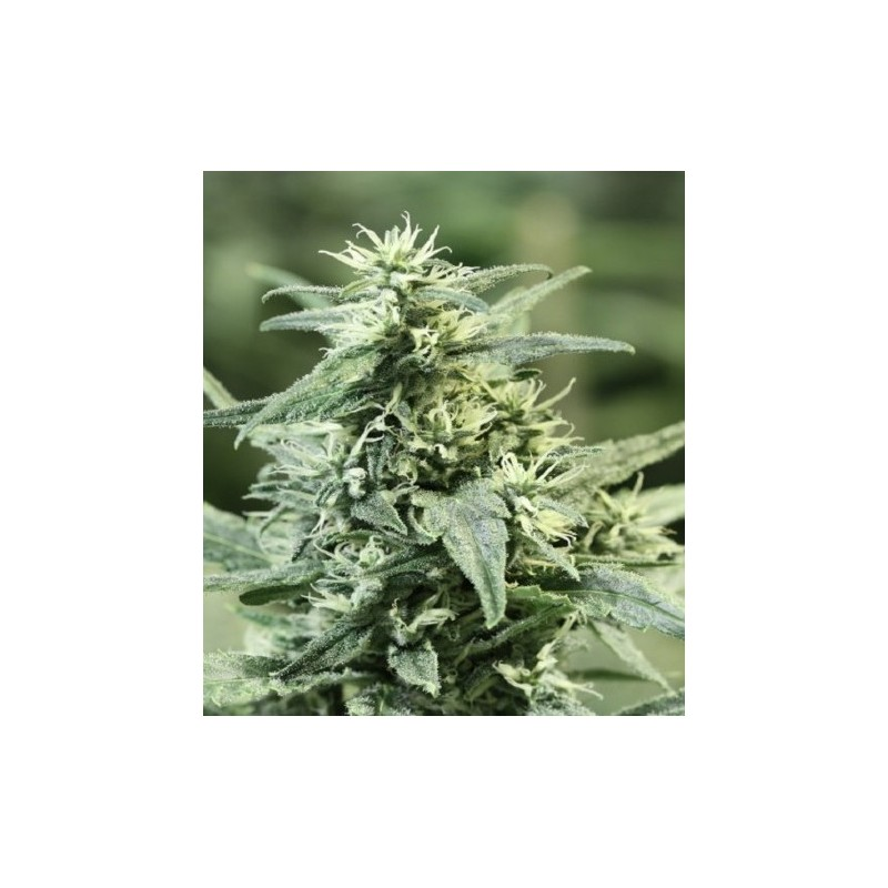 Golden Haze Feminizowane  ( Devils Harvest Seeds)