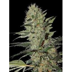 Exodus Cheese Auto Feminizowane  (Greenhouse Seeds)