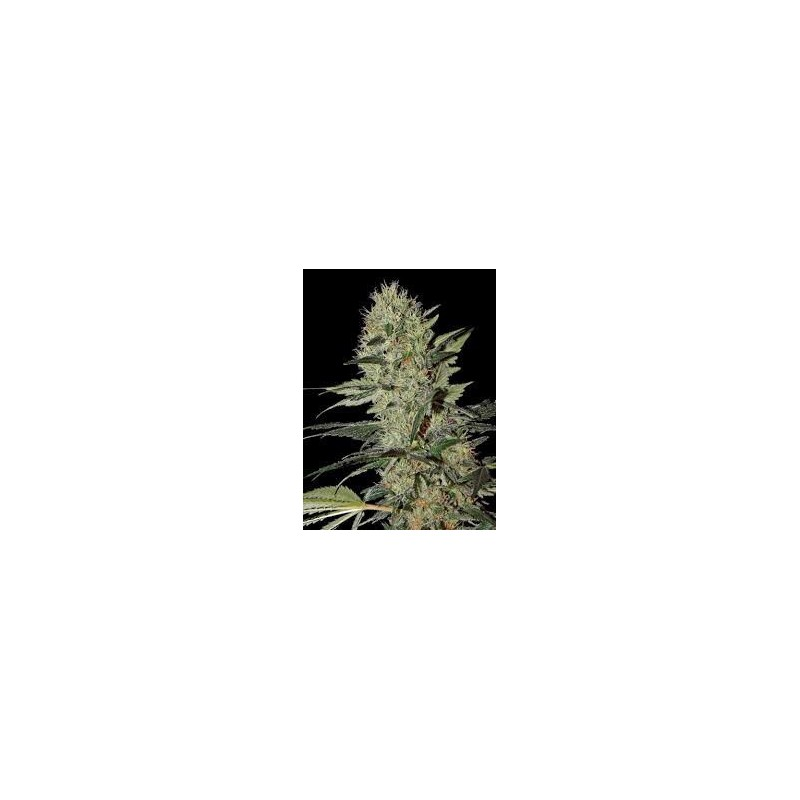 Exodus Cheese Auto Feminized (Greenhouse Seeds)