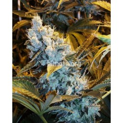 AUTO Himalaya Blue Diesel Feminized (Short Stuff Seedbank)