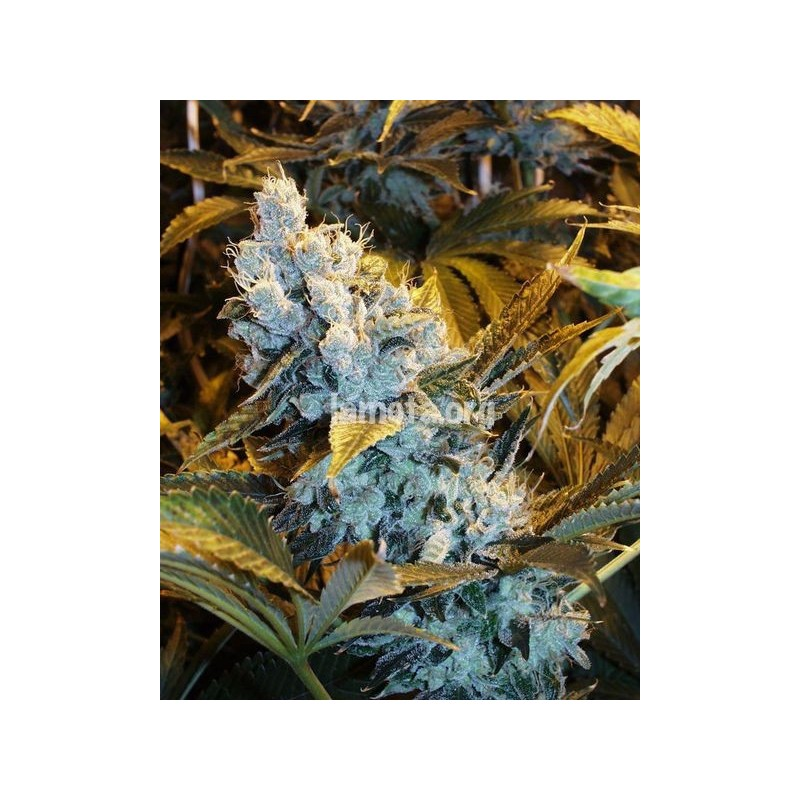 AUTO Himalaya Blue Diesel Regularne (Short Stuff Seedbank)