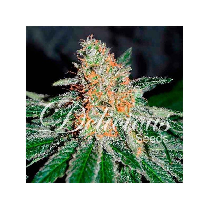 CBD JAM 100% Feminized  (DELICIOUS SEEDS)