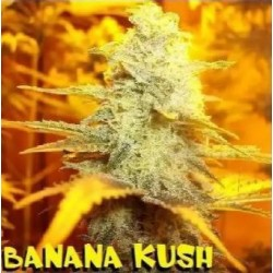 BANANA KUSH Feminized (DUKE SEEDS BANK)