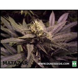 MATAZAR  Feminized (DUKE SEEDS BANK)