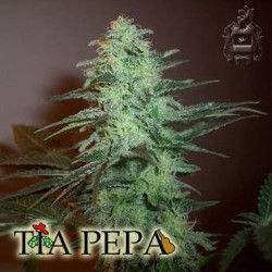 TIA PEPA Feminized (DUKE SEEDS BANK)