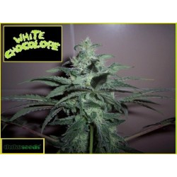 WHITE CHOCOLOPE Feminized (DUKE SEEDS BANK)