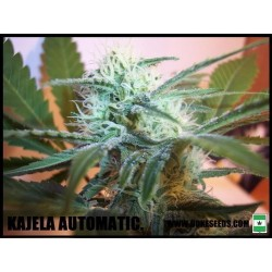 KALEJA AUTO Feminized  (DUKE SEEDS BANK)