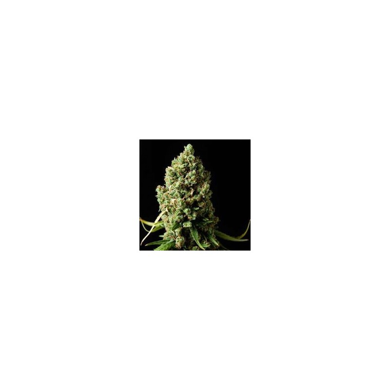 Amnesiac Feminized (Spliff Seeds)