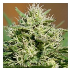 Medical Kush Automatic Feminized (Spliff Seeds)