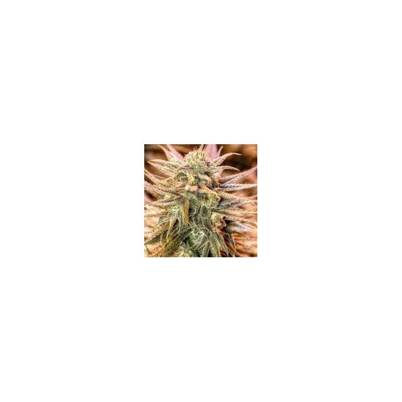 Gold Bar Kush Feminizowane  (Spliff Seeds)