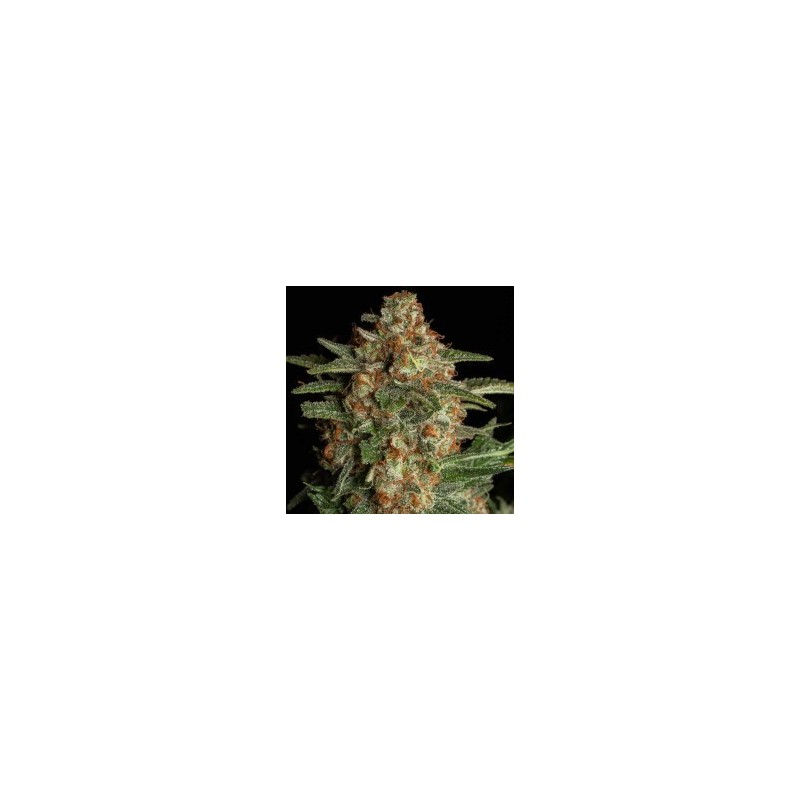 CBD Spliff Berry Feminizowane ( Spliff Seeds)