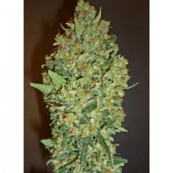 00 Cheese  Feminizowane (00 Seeds Bank)