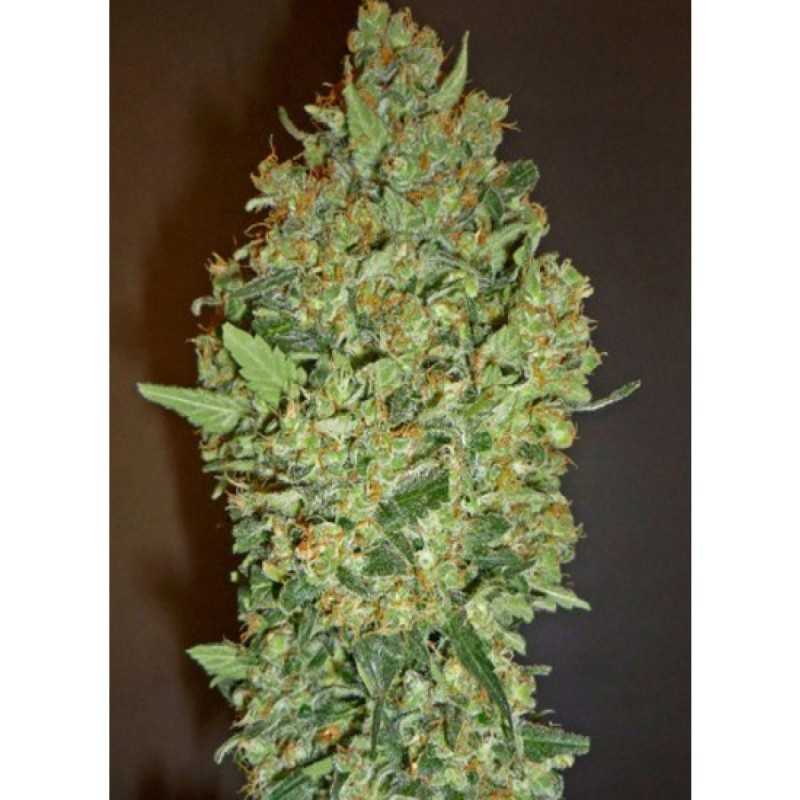 00 Cheese  Feminized (00)