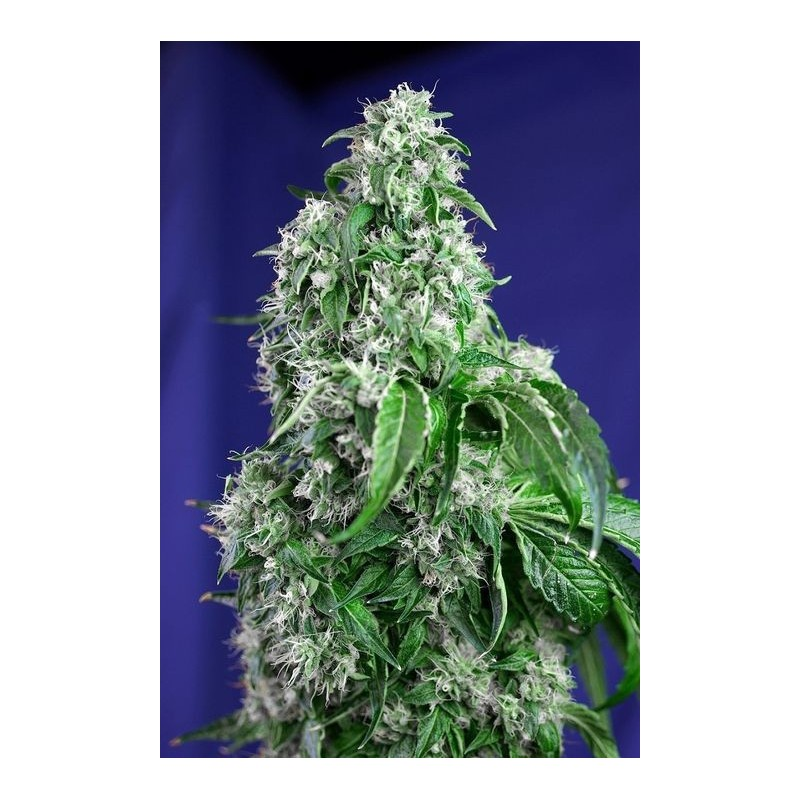 Big Devil Fast Version Feminized ( Sweet Seeds)