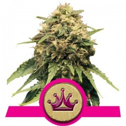 Special Queen 1 Feminizowane (Royal Queen Seeds)