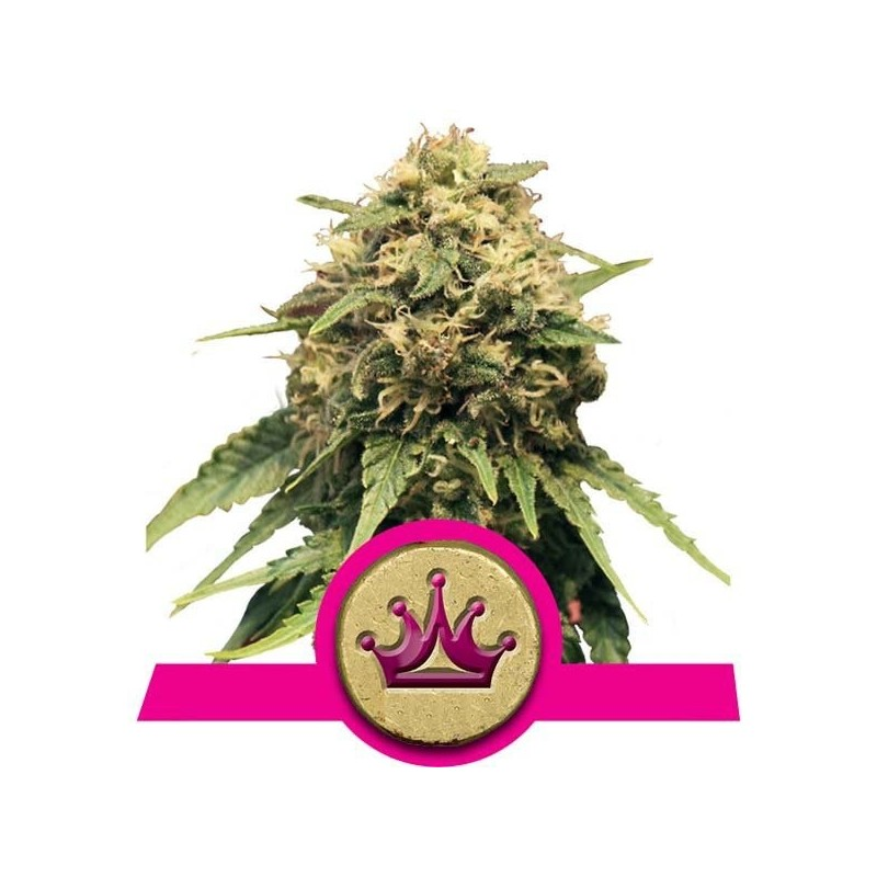Special Queen 1 Feminized (Royal Queen Seeds)