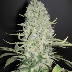 Auto WW X BB Feminizowane (Female Seeds)