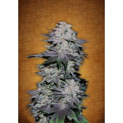 Auto Blackberry Feminized (FastBuds)