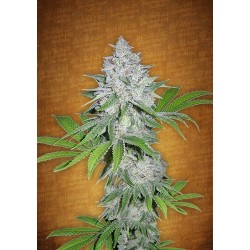 Auto Californian Snow Feminized (FastBuds)