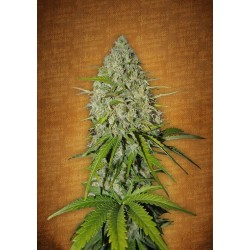 Auto Grapefruit Matic Feminized (FastBuds)