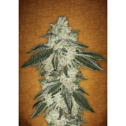 Auto Green Crack Feminized (FastBuds)