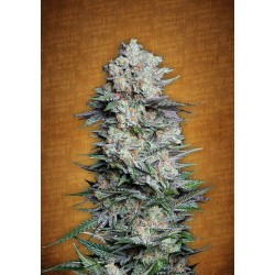 Auto Mexican Airlines Feminized (FastBuds)
