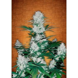 Auto Six Shooter Feminized (FastBuds)